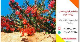 خرید زرشک اناری - درختچه- زرشک