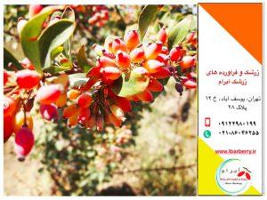 انواع زرشک صادراتی ایران در بازار های دنیا
